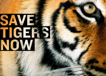 Save Tigers Now